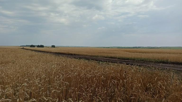 Озимая пшеница второго модельного поля