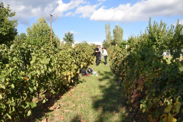 Виноград пробоотбор