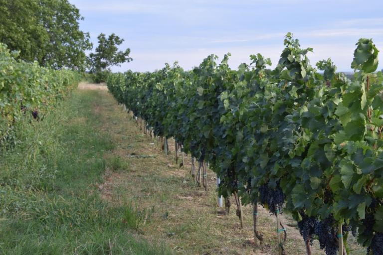 Виноград 4